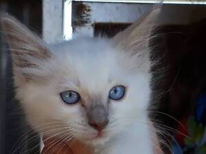 Ragdoll Kittens only 1 left male Lilac