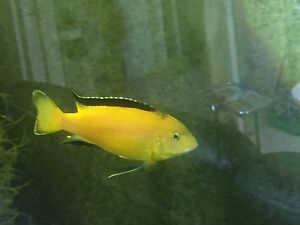 or sale 3 yellow electric fishes $25/each Canley Heights Fairfield Area Preview