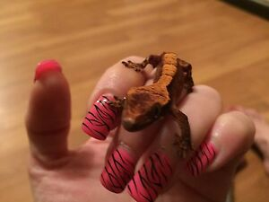 Beautiful Baby Crested Geckos for Sale