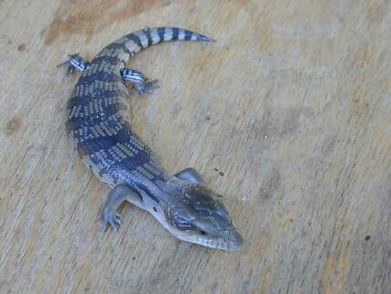 Baby Blue Tongue Lizards, 2 weeks old, very cute Oakleigh Monash Area Preview