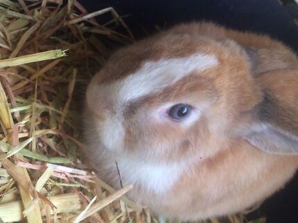 Female VM Mini Lop rabbit