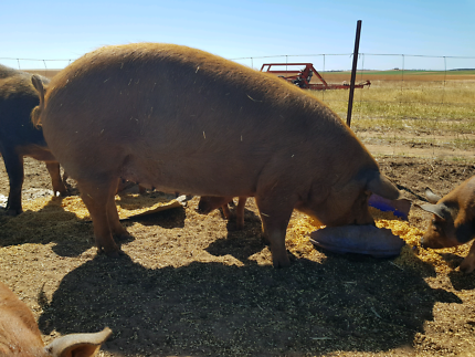 PIGS! 3 duroc x berkshire sows for sale