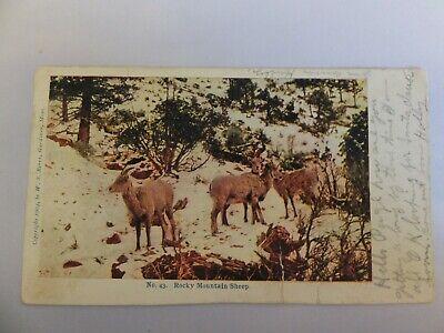 Yellowstone postcard - Berry Pub - No. 43 Rocky Mountain Sheep Higginsville W.VA