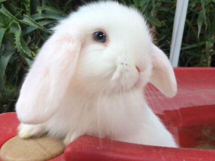 Totally gorgeous litter of blue eyed white mini lop pure breed