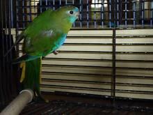 Turquoisine grass parrots. Waroona Waroona Area Preview