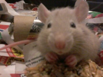 Gorgeous hand raised baby rats for sale. Girrawheen Wanneroo Area Preview