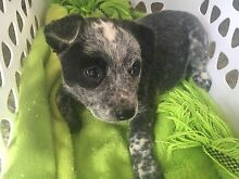 Purebred Blue Cattledog Stumpytail pups for sale Maitland Maitland Area Preview