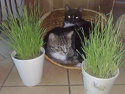100 g Katzengras Samen Saatgut Saat Qualität Katze Blitzversand  Weizen Getreide