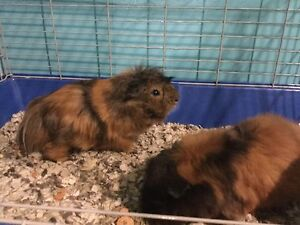 Two Guinea pigs with cage and accessories for sale.