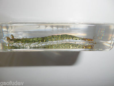 Details about Red headed Centipede Scolopendra subspinipes 73x40x18 mm  Block Teaching Specimen