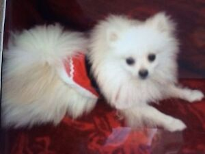 STILL MISSING -GIZMO- NOW 3 YEARS AGO !!! Carrara Gold Coast City Preview