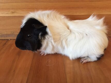 1 year old Male Guinea Pig West Pymble Ku-ring-gai Area Preview