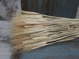 100 STEMS DRIED WHEAT/RYE FOR FLOWERS ARRANGING READY TO USE NATURAL BOUQUET 20