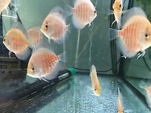 New Shipment has arrived . 5 - 9cm CHEN discus fish from $30 Como South Perth Area Preview