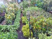 PLANT NURSERY. Top quality stock and range! Springwood Logan Area Preview