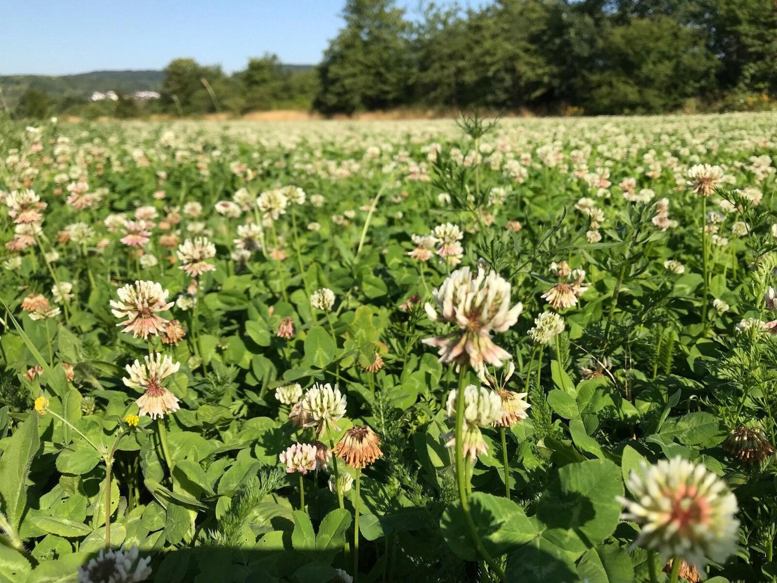 WEIßKLEE TOP Saatgut 5 kg Klee weiß Saat Kleesaat Futterklee Bienenweide