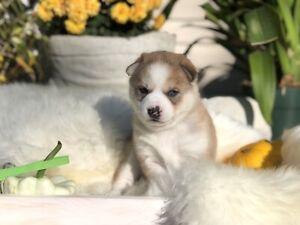 Stunning MINI Husky puppies!!
