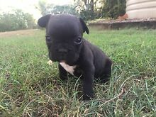 1 male french bulldog puppy and 1 female Brisbane City Brisbane North West Preview