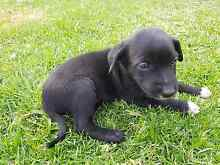 Kelpie pups Muswellbrook Muswellbrook Area Preview