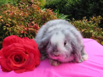 purebred baby mini lop rabbits