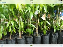 Mango tree Kensington pride tropical fruit Perth cheap Darch Wanneroo Area Preview