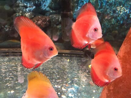 5 to 7cm High Grade quality DISCUS from Malaysia - FOR SALE Como South Perth Area Preview
