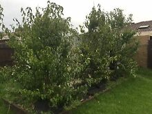Mature evergreen pears must go by 8th May!! Beaumaris Bayside Area Preview