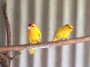Yellow kakarikis Parmelia Kwinana Area Preview