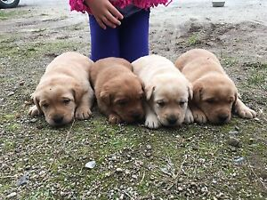 Chiots labrador red fox pure race