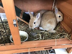 Purebred Netherland dwarf rabbits! 8 wk's old ready for a new home!! Carrum Downs Frankston Area Preview