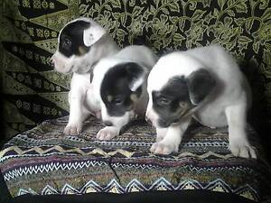 PUPPIES 4 SALE Albany Albany Area Preview