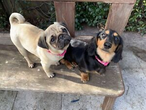 Beautiful Purebred Long Haired Dachshund And Pug Puppies Dogs