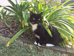 New home needed for our beloved domestic short haired cats Davidson Warringah Area Preview