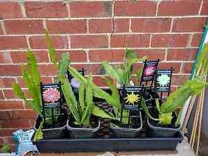 epiphyllum orchid cactus Preston Darebin Area Preview