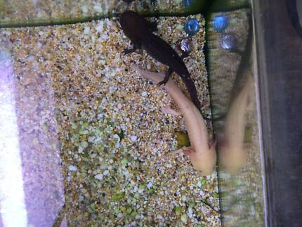 2 axolotls for sale!! Mooroolbark Yarra Ranges Preview