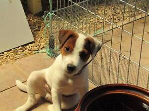 Parson Russell Terrier Wagga Wagga Wagga Wagga City Preview