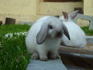 Baby Bunnies for Sale! Seal Point Mini Lop Rabbits Eleebana Lake Macquarie Area Preview