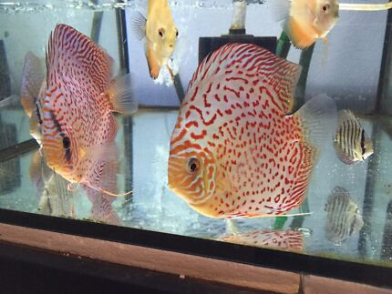Xlarge A grade DISCUS fish for sale - Como South Perth Area Preview