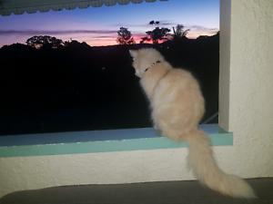 Himalayan × Pale Ginger Desexed Female Kitten/Cat