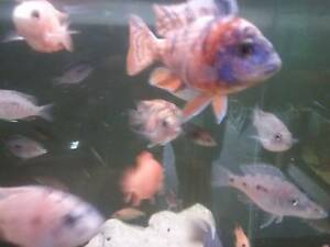 African cichlids Ngunnawal Gungahlin Area Preview