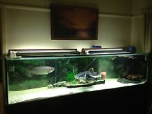 8ft Aquarium Fish Tank with Huge Red Tail, Saratoga & Pleco Heidelberg Heights Banyule Area Preview