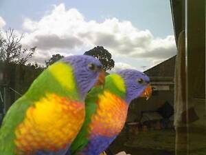 Rainbow Lorikeet 9 weeks old baby tame and friendly Merrylands Parramatta Area Preview