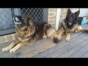 Purebred German shepherds must go together Cooranbong Lake Macquarie Area Preview