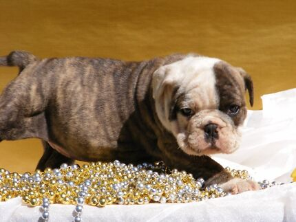 Southern cross bulldog puppies Inverell Inverell Area Preview