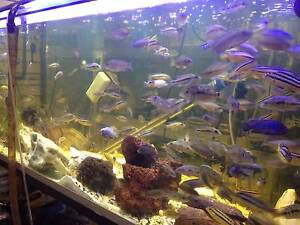 FRESH WATER FISH AFRICAN CICHLIDS+ TEXAS HOLY ROCKS+ACCESORIES Holt Belconnen Area Preview