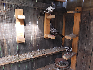 Pigeons for sale Wetherill Park Fairfield Area Preview