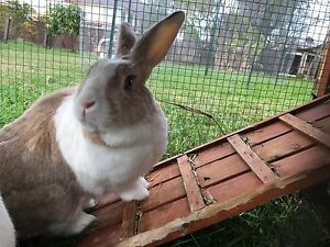 Male rabbit Bankstown Bankstown Area Preview