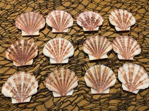 "12 Pecten Flat Scallop Albicans Shells 2.5"" Craft Decor Free Ship!"