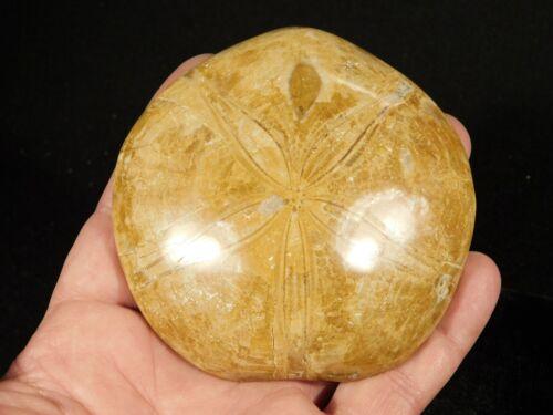 Big Sand Dollar Fossil Polished 206gr
