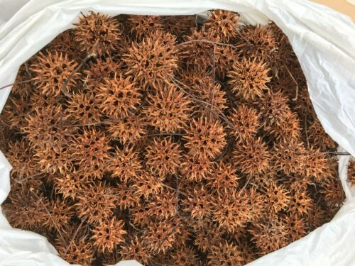 1000+ Sweet Gum Balls For Crafts, Hand Picked, W/Stems From Western Kentucky